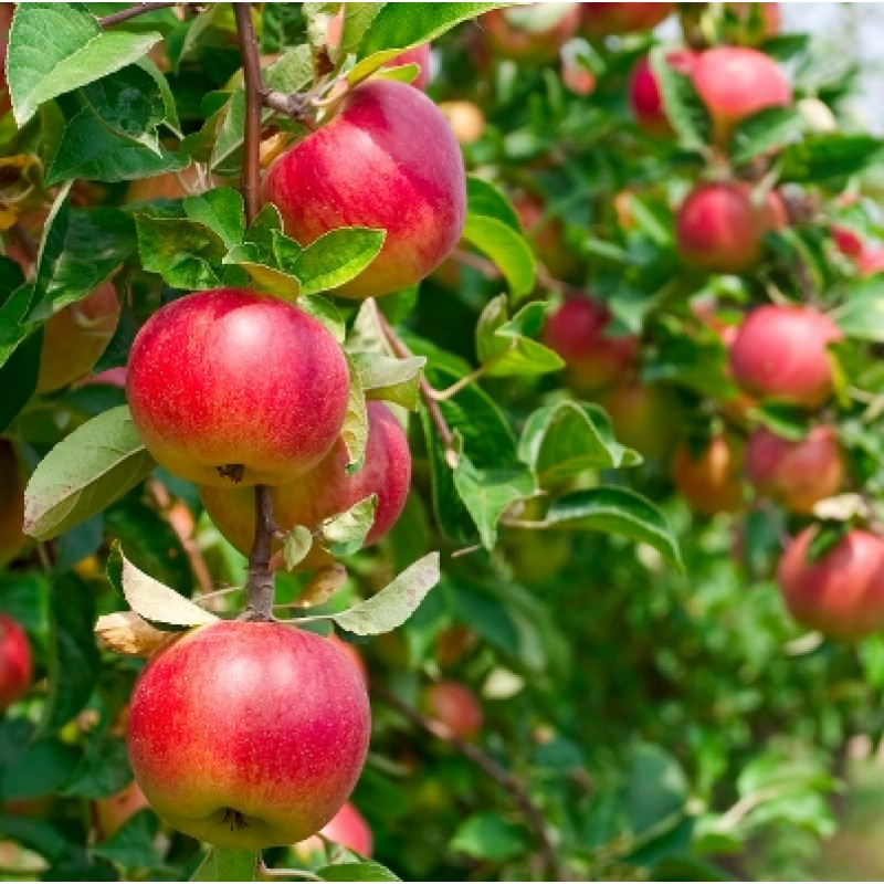 Photo May Slightly Different From Actual Item In Terms Of Color Due To The Lighting During Shooting Or Monitors Display Apple Plant