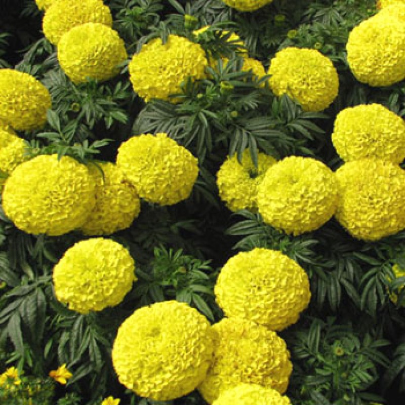 "Picture of Live Marigolds Inca Yellow aka Tagetes erecta 'Inca Yellow' Plant Fit 4"" Pot"