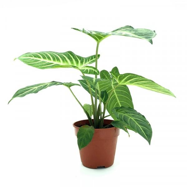 Caladium Lindenii - Xanthosoma Lindenii, Angel's Wing Plant