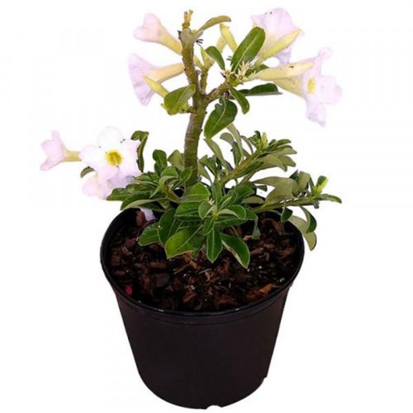 Adenium White (Seed Grown) - Adenium obesum, Desert Rose Plant