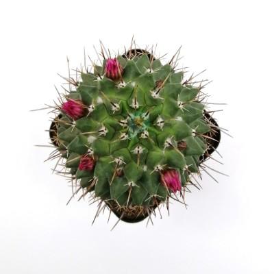 Gymnocalycium Saglionis Cactus