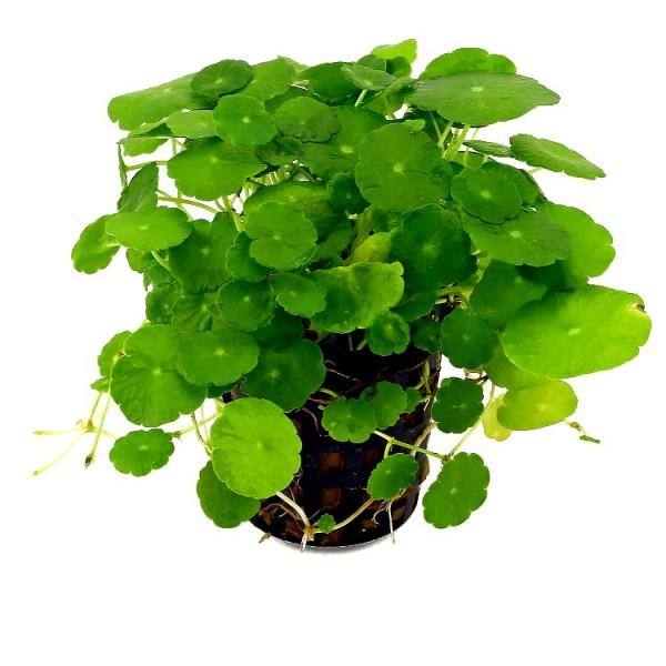 Pennywort Plant - Hydrocotyle Verticillata