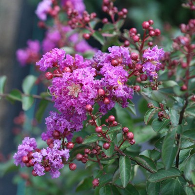 Lagerstroemia Indica Pink Plant, Crape Myrtle Plant