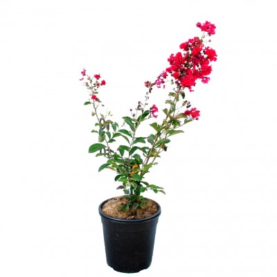 Lagerstroemia Indica Red Plant, Crape Myrtle Plant