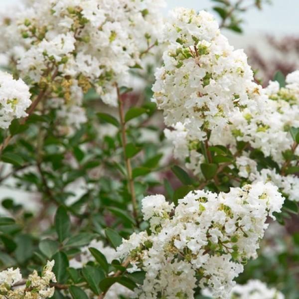 Lagerstroemia Indica White Plant, Crape Myrtle Plant