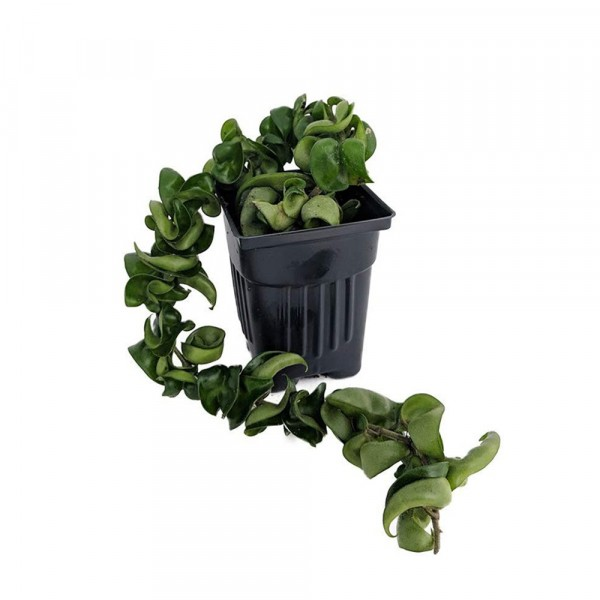 Hoya Compacta plant
