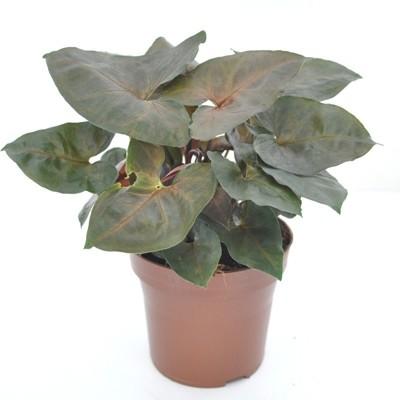 Syngonium Plants Pack of 4
