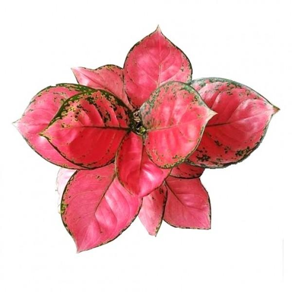Aglaonema Red Anjamani - Chinese Evergreen