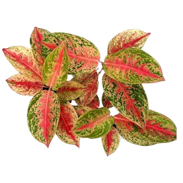Aglaonema Red Impressa - Chinese Evergreen