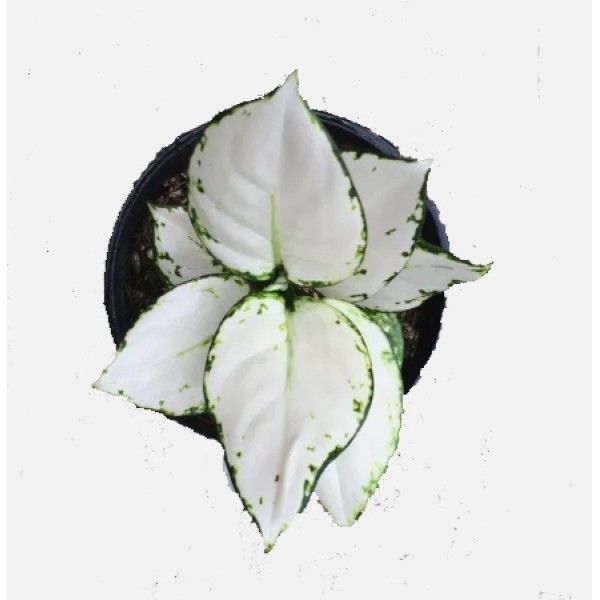 Aglaonema Super White - Chinese Evergreen