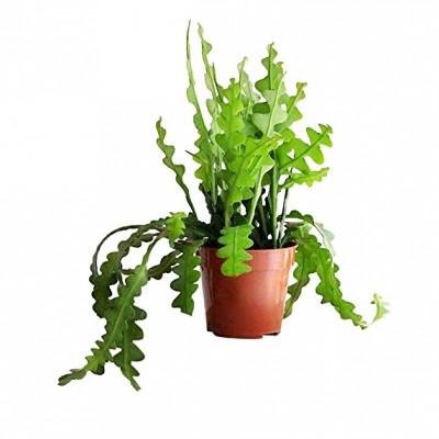 Fishbone cactus - Zig-Zag Cactus, Cryptocereus Anthonyanus