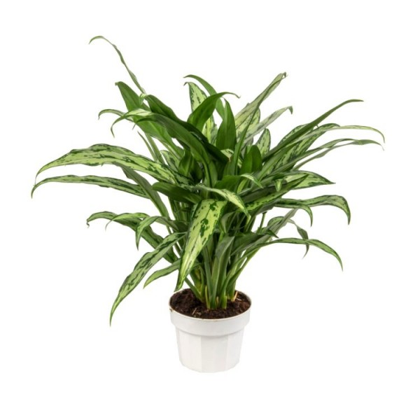 Aglaonema Cutlass - Chinese Evergreen