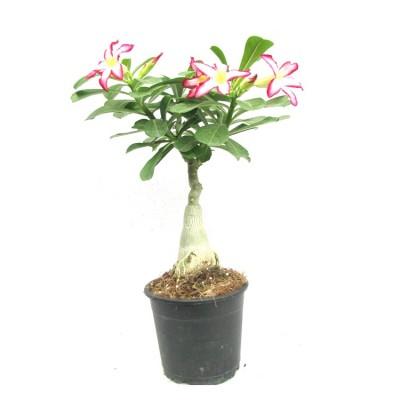 Buy Indoor Plants Online Indoor Plant Upto 50 Off Plantsguru Com