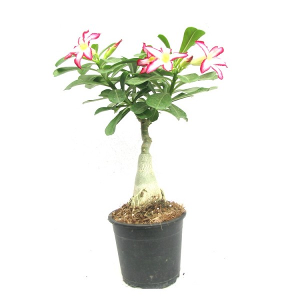 Adenium Light of Sun & Moon(Grafted) - Adenium obesum, Desert Rose Plant