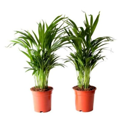 Areca Palm live Indoor Air Purify House Plant (Pack of 2)