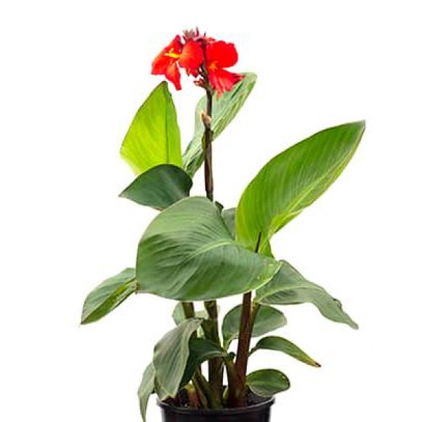 Canna Red flower plant - Canna Indica, Keli Plant