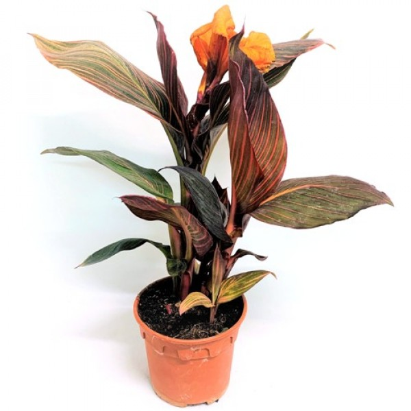 Canna Variegated Red Plant - Canna Indica, Keli Plant