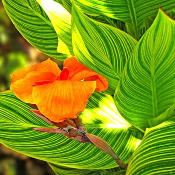 Canna Variegated Green Plant - Canna Indica, keli Pant