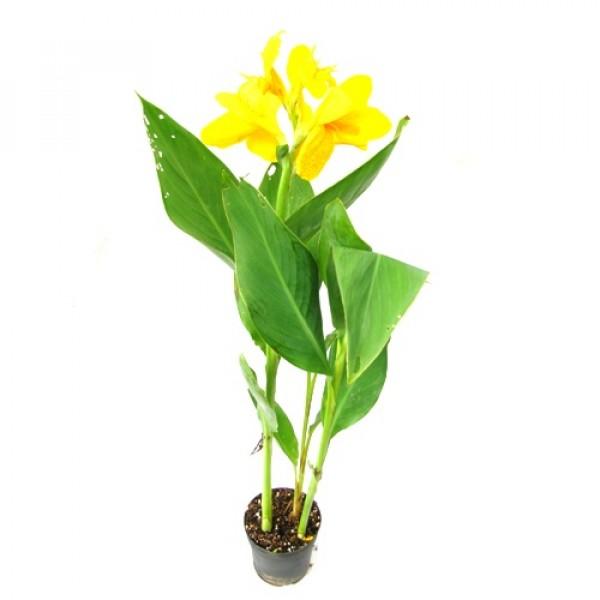 Canna Yellow Plant - Canna Indica, Keli Plant