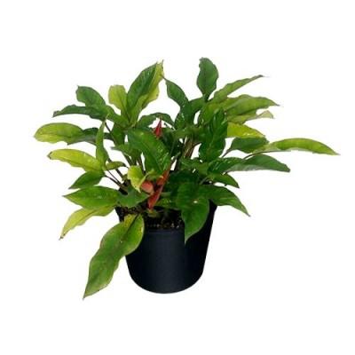 Heliconia Bihai Plant