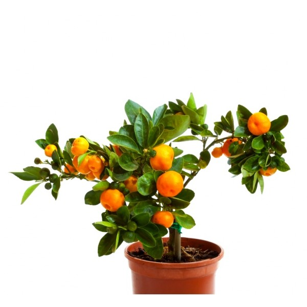 Ornamental Orange Green Plant