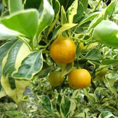 Ornamental Orange Variegated Plant