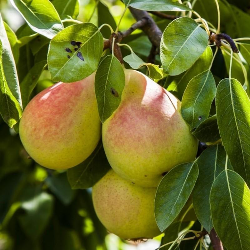 Pear Plant Pyrus Communis Nashpati