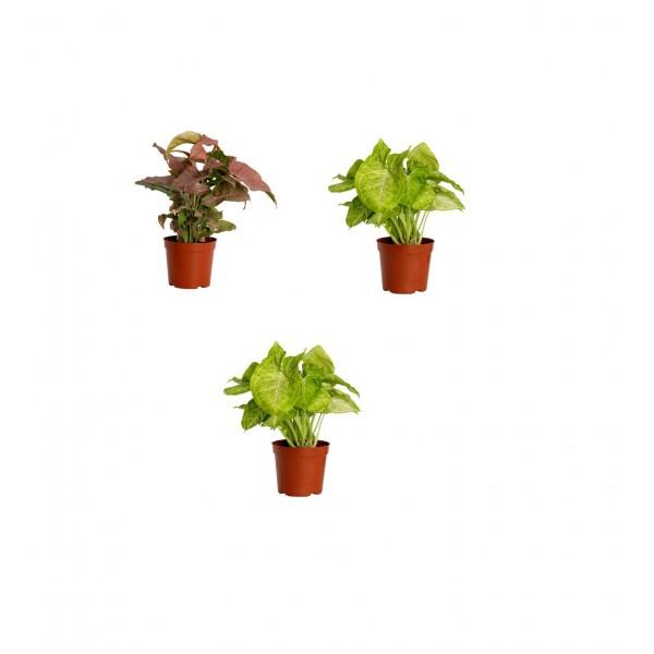 Syngonium Plants Pack of 3