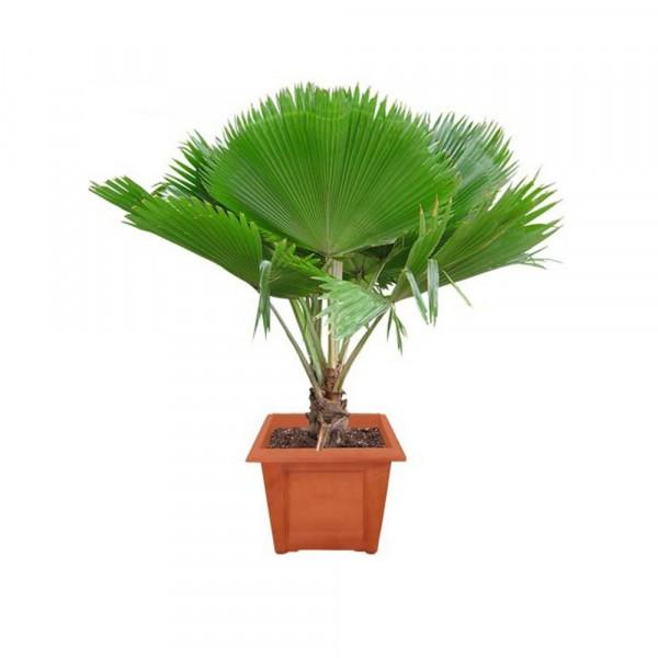 Pritchardia Pacifica Palm - Fiji Fan Palm