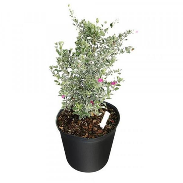 Texas Sage Plant - Leucophyllum Frutenscens