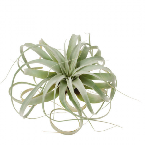 Tillandsia Xerographica Air Plants