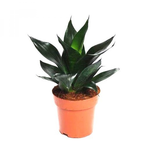 Sansevieria Black Dragon, Snake Plant - Mother in Law Tongue Plant