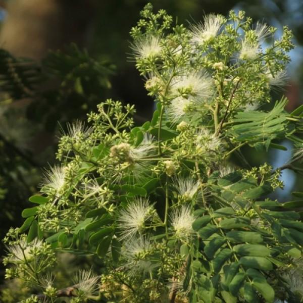 Albizia Odoratissima, Kali Siris ( 1 kg ) - Seeds