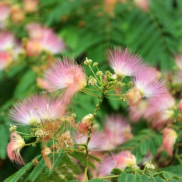 Albizia Procera Siris ( 1 Kg ) - Seeds
