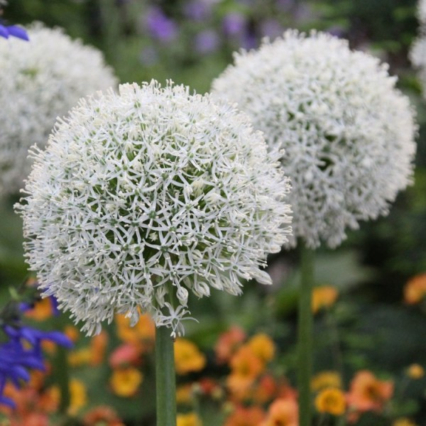 Allium Bulbs (White, 3 Bulb)