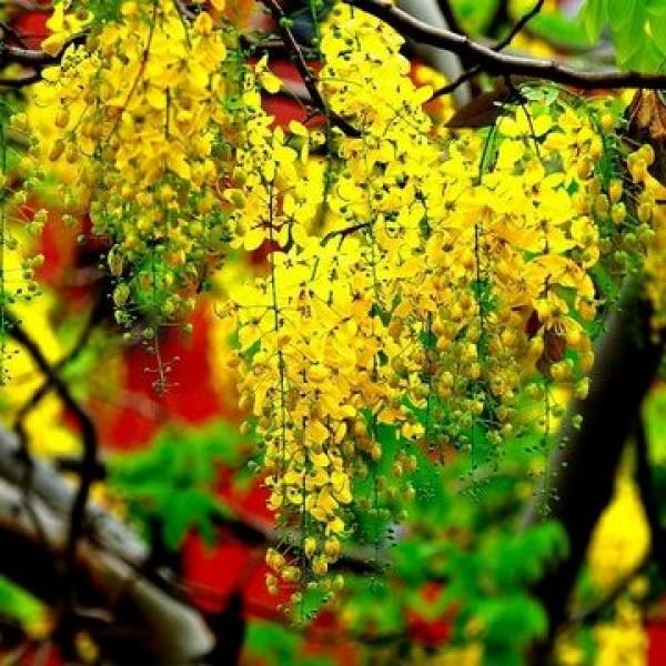 Cassia Fistula, Golden Shower Tree - Seeds (1Kg)