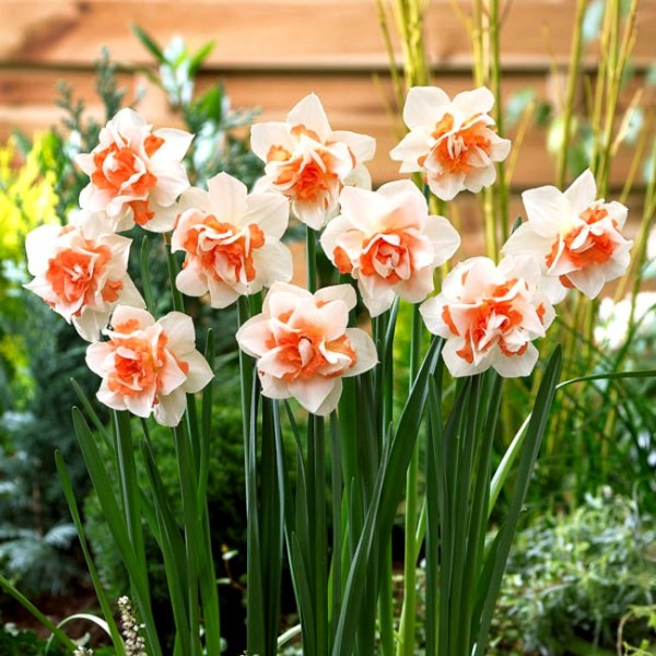 Daffodil Replete - 3 Bulbs
