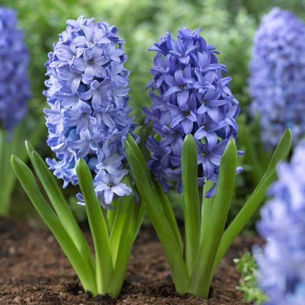 Hyacinth All Star Blue - 3 Bulbs