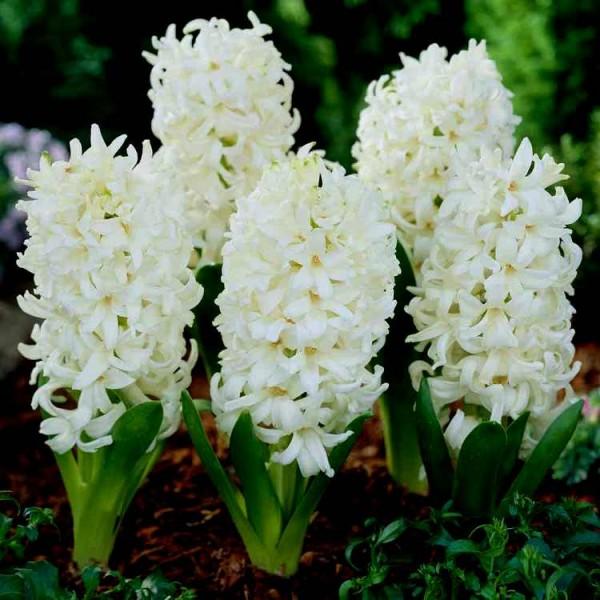 Hyacinth White Pearl - 3 Bulbs
