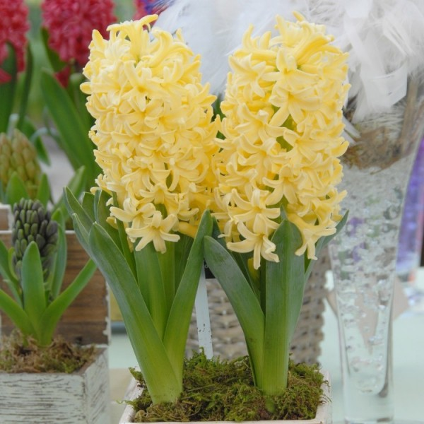Hyacinth Yellow Stone - City of Herlem (3 Bulbs)