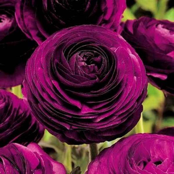Ranunculus Bulbs (Purple, 3 Bulb)