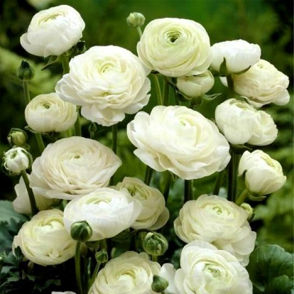Ranunculus Bulbs (White, 3 Bulb)