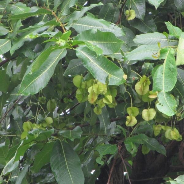 Terminalia Tomentosa, Asan - Seeds (1Kg)