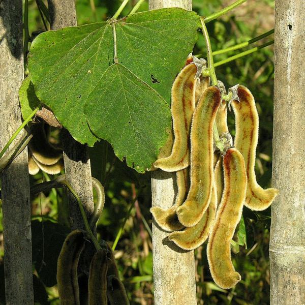 Mucuna Pruriens, Velvet Beans - Seeds (1Kg)