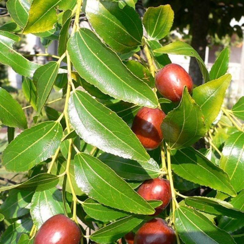 Buy Ziziphus Mauritiana Seeds 1kg Online India At