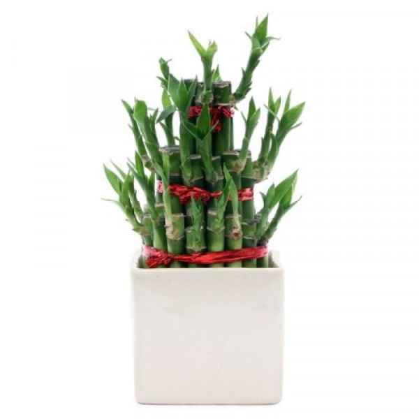 3 Layer Lucky Bamboo with Ceramic Pot