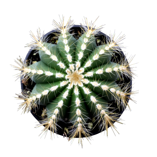 Balloon Cactus - Parodia Magnifica