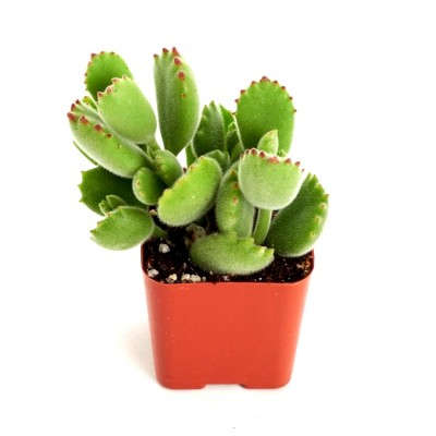 Cotyledon Tomentosa - Bear Paw Succulent Plant