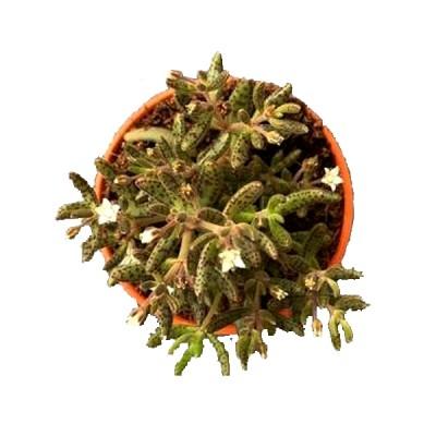 Crassula Humbertii Succulent Plant