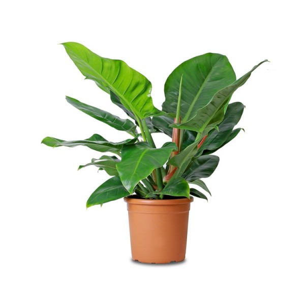 Philodendron Imperial Green - Philodendron Big Plant